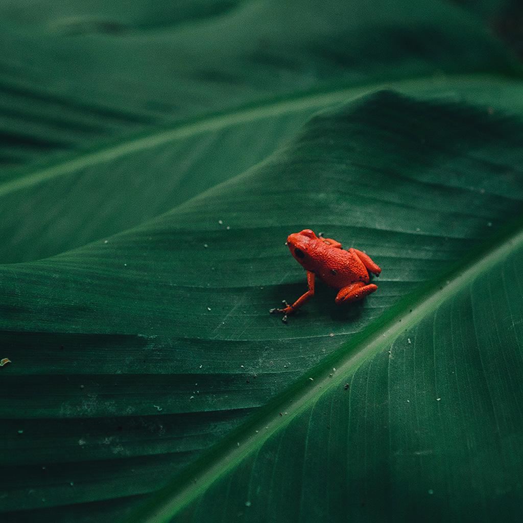 android-wallpaper-bi17-frog-leaf-red-nature-art-wallpaper