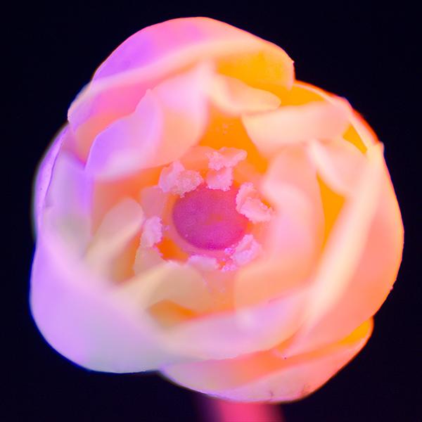 iPapers.co-Apple-iPhone-iPad-Macbook-iMac-wallpaper-bj21-flower-neon-red-closeup-art-wallpaper