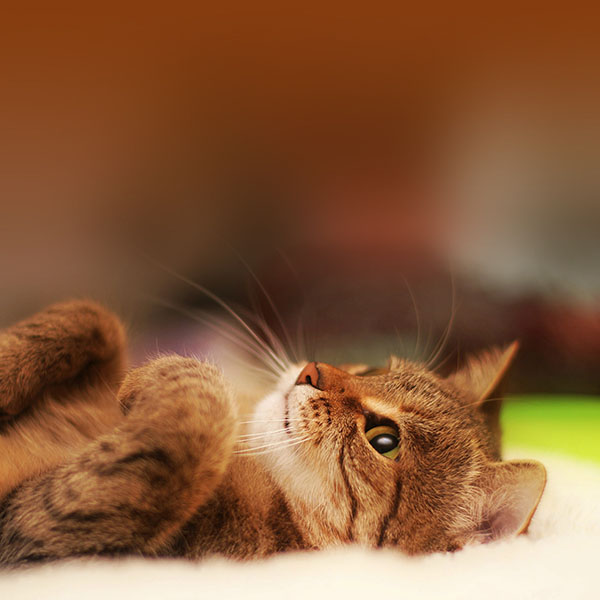iPapers.co-Apple-iPhone-iPad-Macbook-iMac-wallpaper-ma17-cat-in-bed-animal-nature