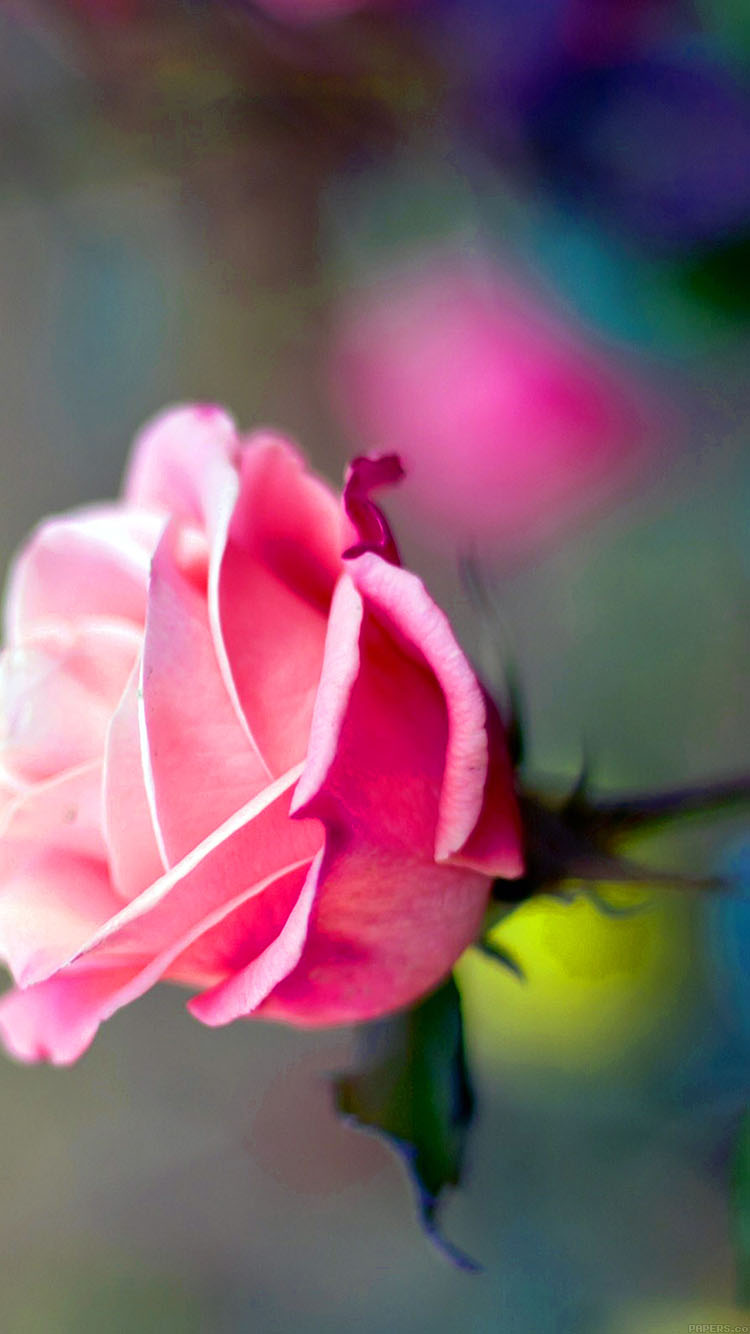iPhonepapers.com-Apple-iPhone8-wallpaper-ma25-close-up-pink-rose-flower-nature