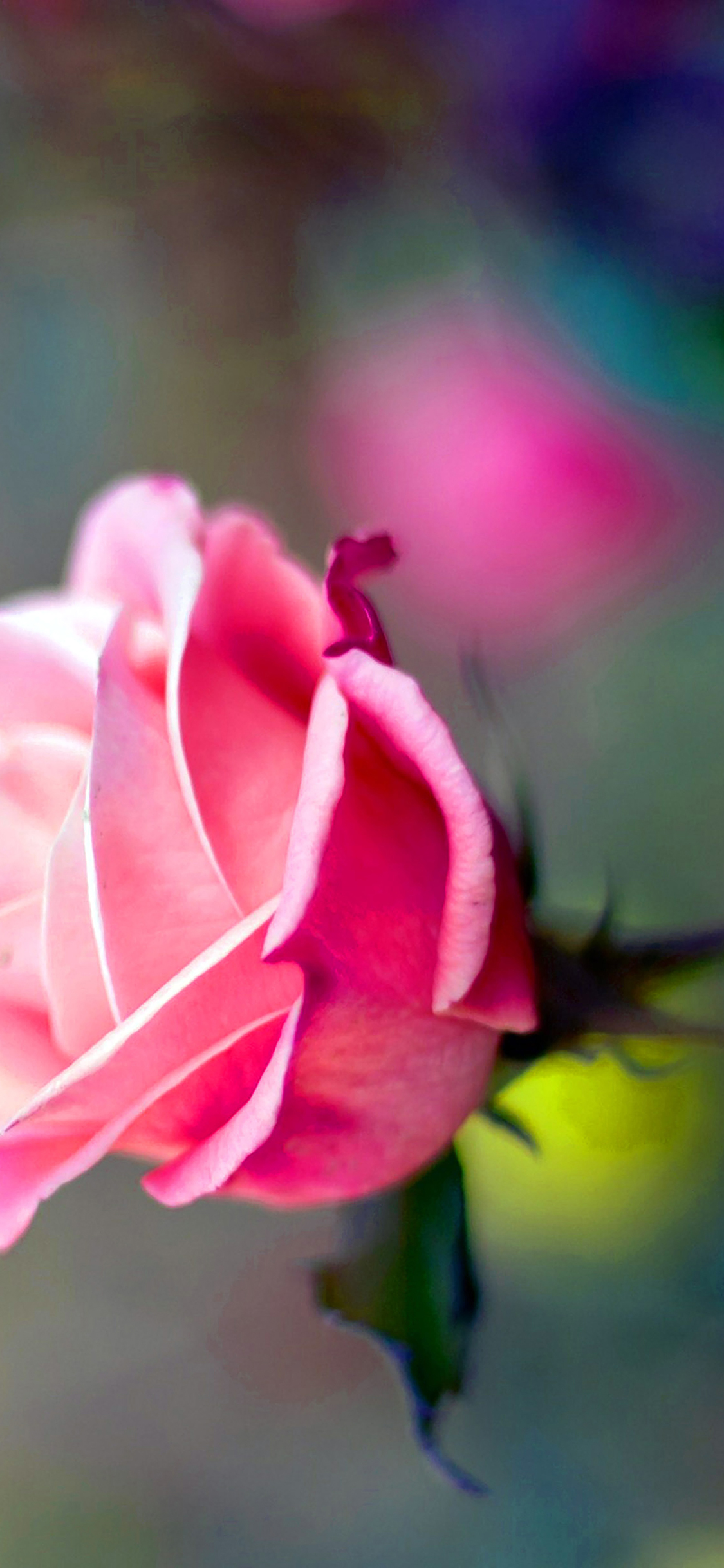 iPhoneXpapers.com-Apple-iPhone-wallpaper-ma25-close-up-pink-rose-flower-nature