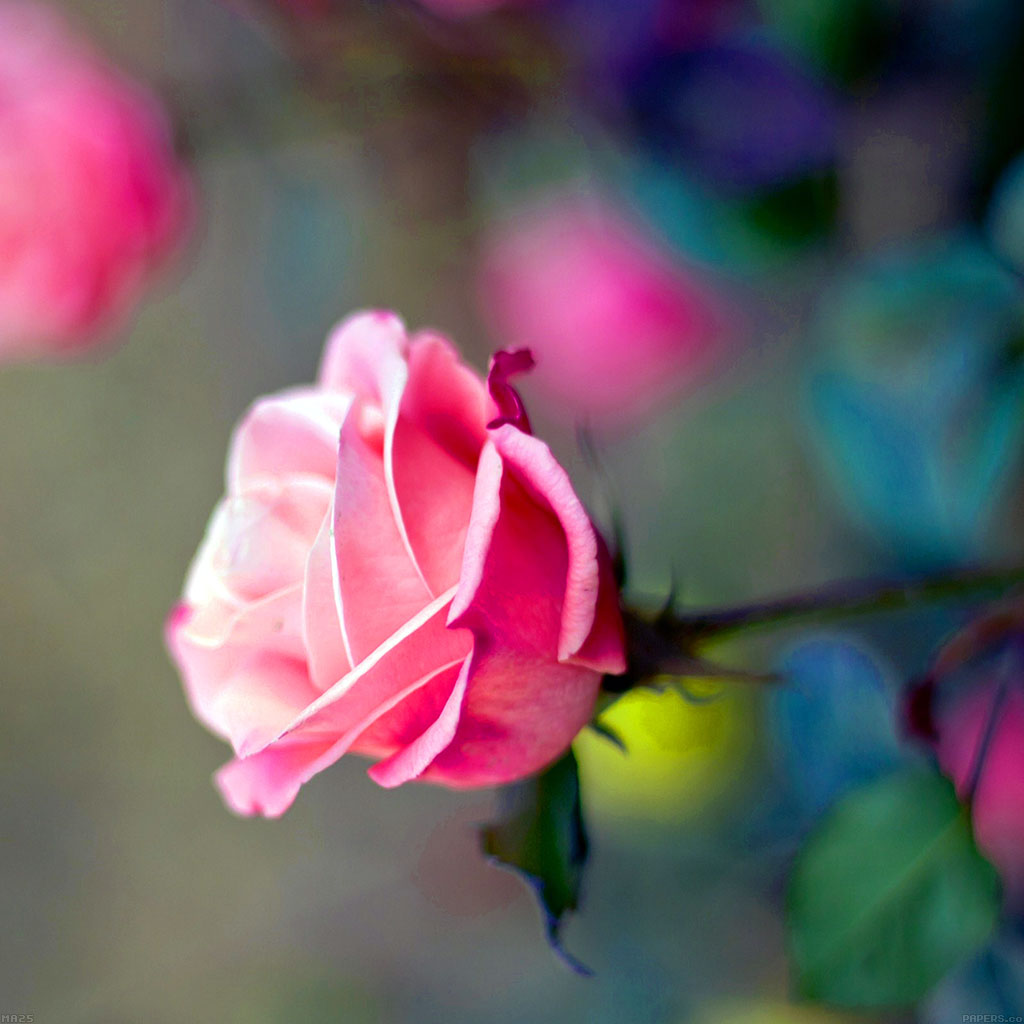 android-wallpaper-ma25-close-up-pink-rose-flower-nature-wallpaper