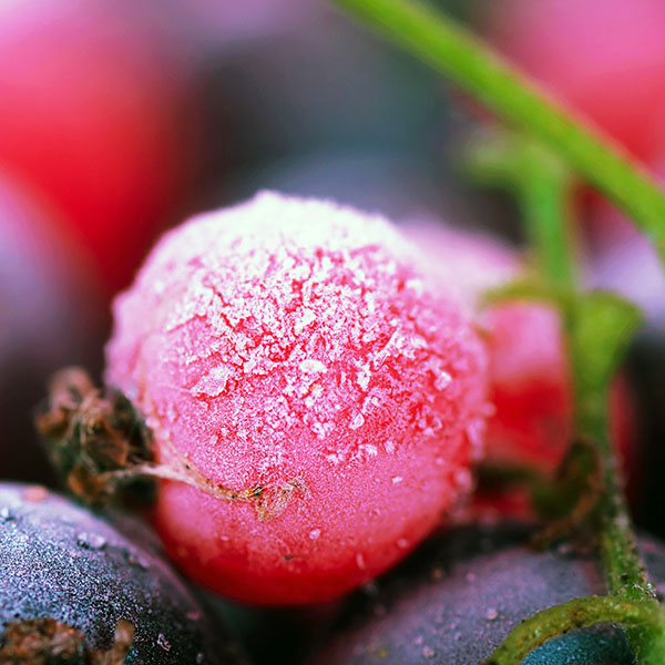 iPapers.co-Apple-iPhone-iPad-Macbook-iMac-wallpaper-ma26-cold-berry-flower-nature