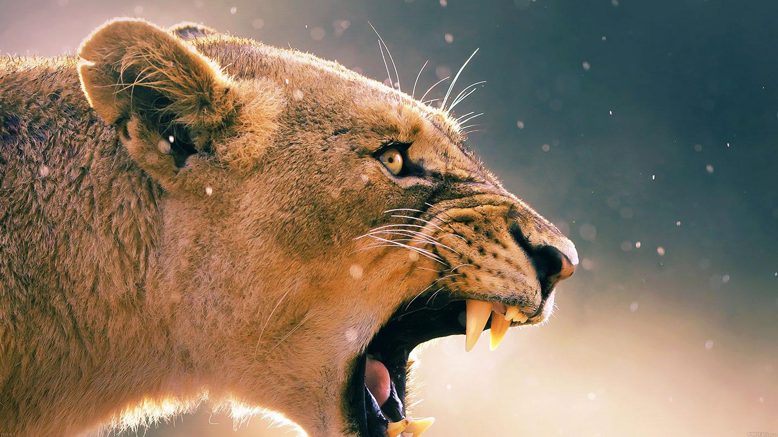 Hd Animal Wallpapers Wild Life Animal Desktop Images: Ma41-angry-lion-one-animal-nature
