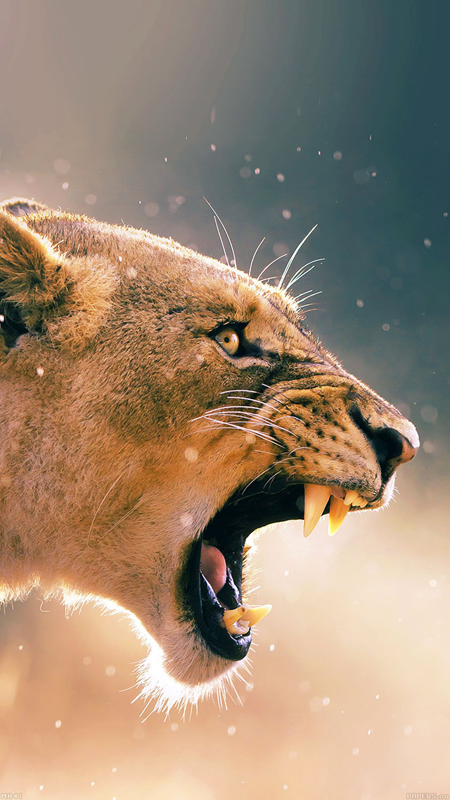 freeios8.com-iphone-4-5-6-ipad-ios8-ma41-angry-lion-one-animal-nature