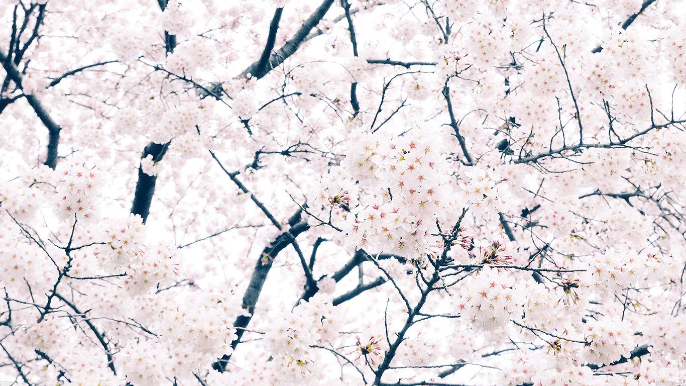 iPapers.co-Apple-iPhone-iPad-Macbook-iMac-wallpaper-ma64-sakura-cherry-spring-tree-flower-nature