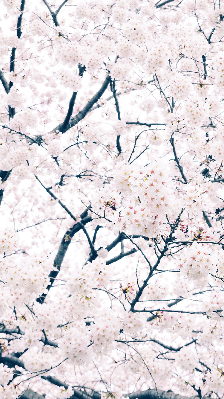 iPhone7papers.com-Apple-iPhone7-iphone7plus-wallpaper-ma64-sakura-cherry-spring-tree-flower-nature