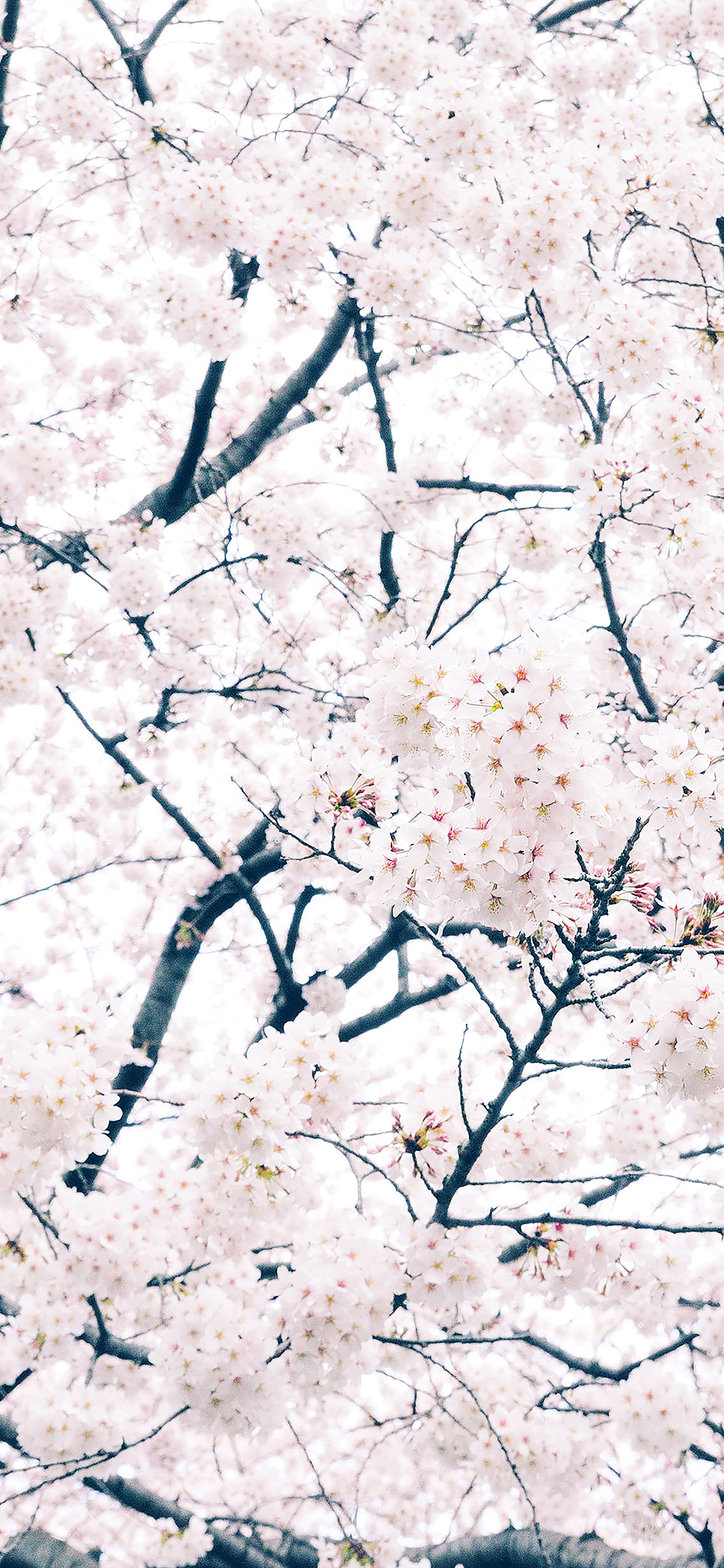 iPhoneXpapers.com-Apple-iPhone-wallpaper-ma64-sakura-cherry-spring-tree-flower-nature