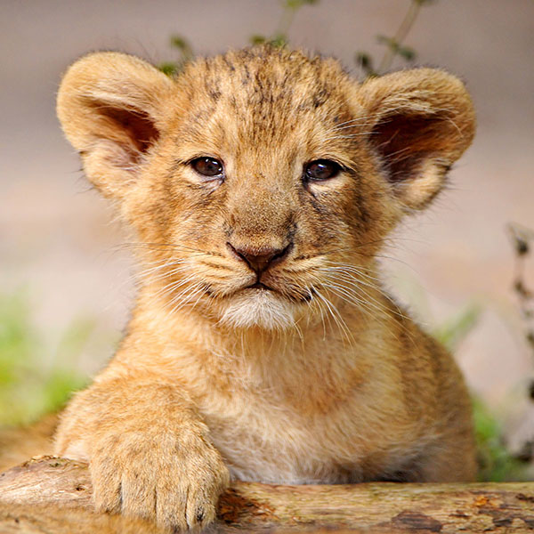 iPapers.co-Apple-iPhone-iPad-Macbook-iMac-wallpaper-ma90-proud-posing-cub-animal-nature