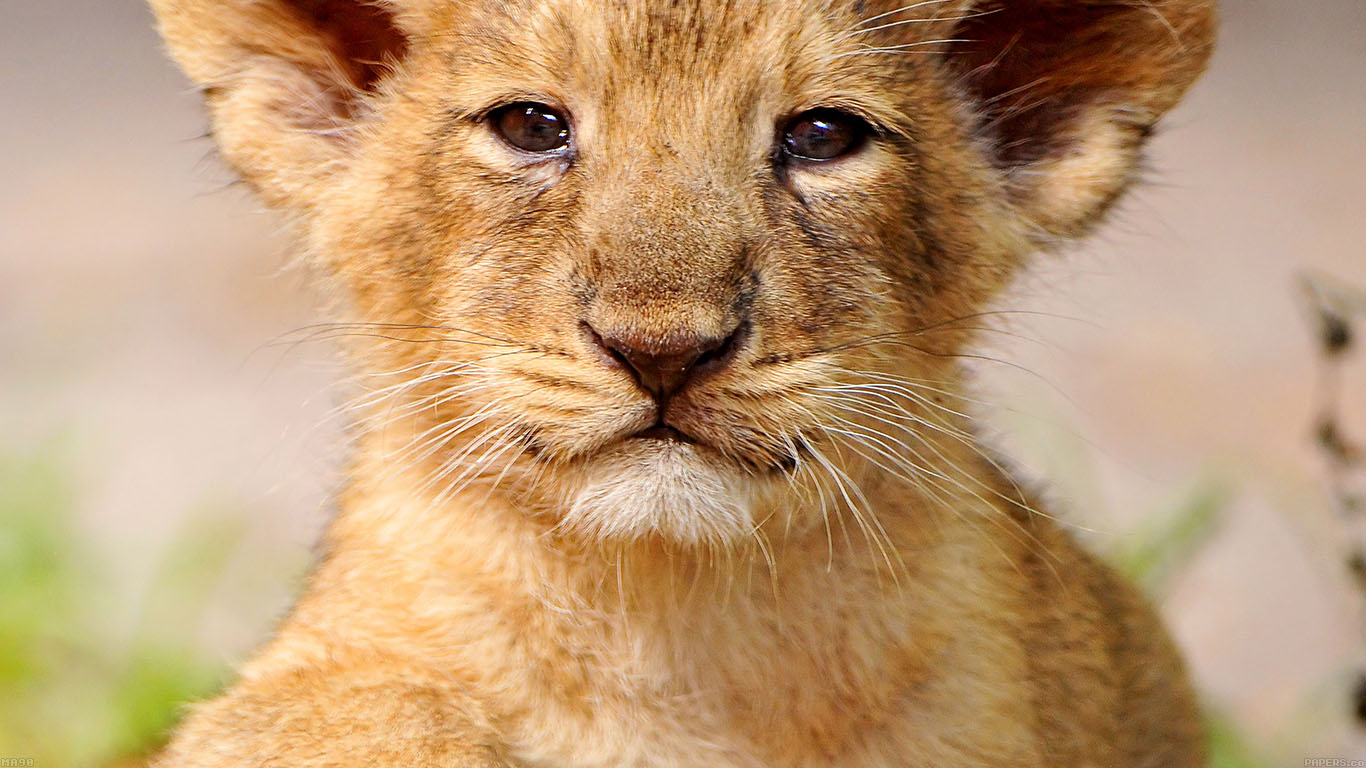 iPapers.co-Apple-iPhone-iPad-Macbook-iMac-wallpaper-ma90-proud-posing-cub-animal-nature