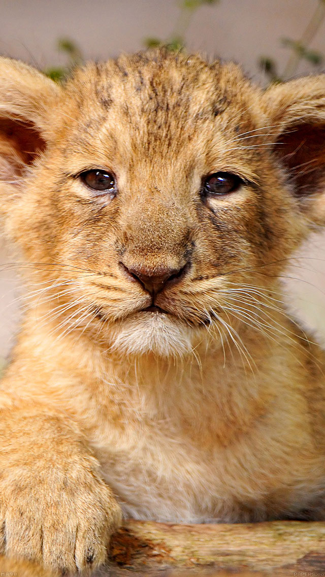 freeios8.com-iphone-4-5-6-ipad-ios8-ma90-proud-posing-cub-animal-nature