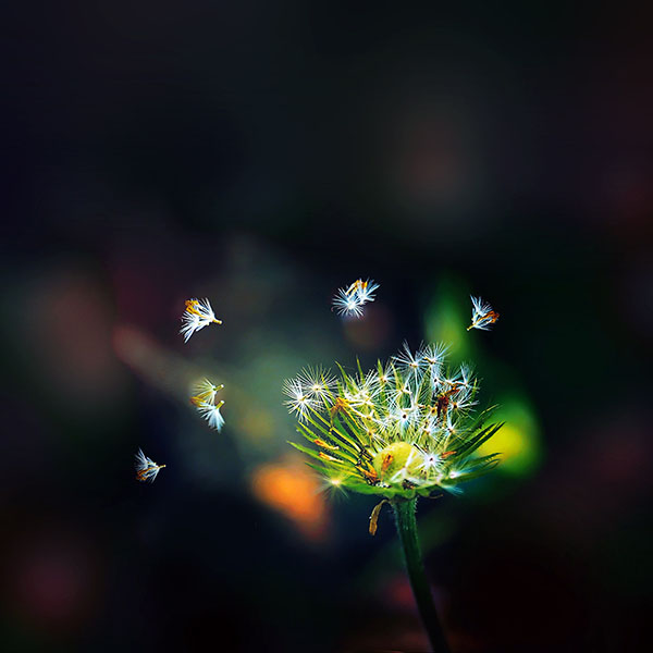 iPapers.co-Apple-iPhone-iPad-Macbook-iMac-wallpaper-ma99-blow-dandelion-flower-nature
