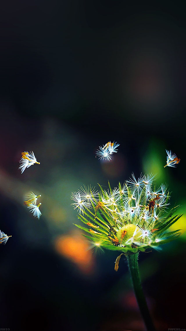 freeios8.com-iphone-4-5-6-ipad-ios8-ma99-blow-dandelion-flower-nature