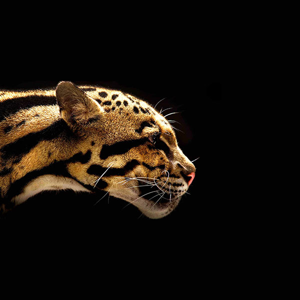 iPapers.co-Apple-iPhone-iPad-Macbook-iMac-wallpaper-mb77-wallpaper-wild-cat-b-animal