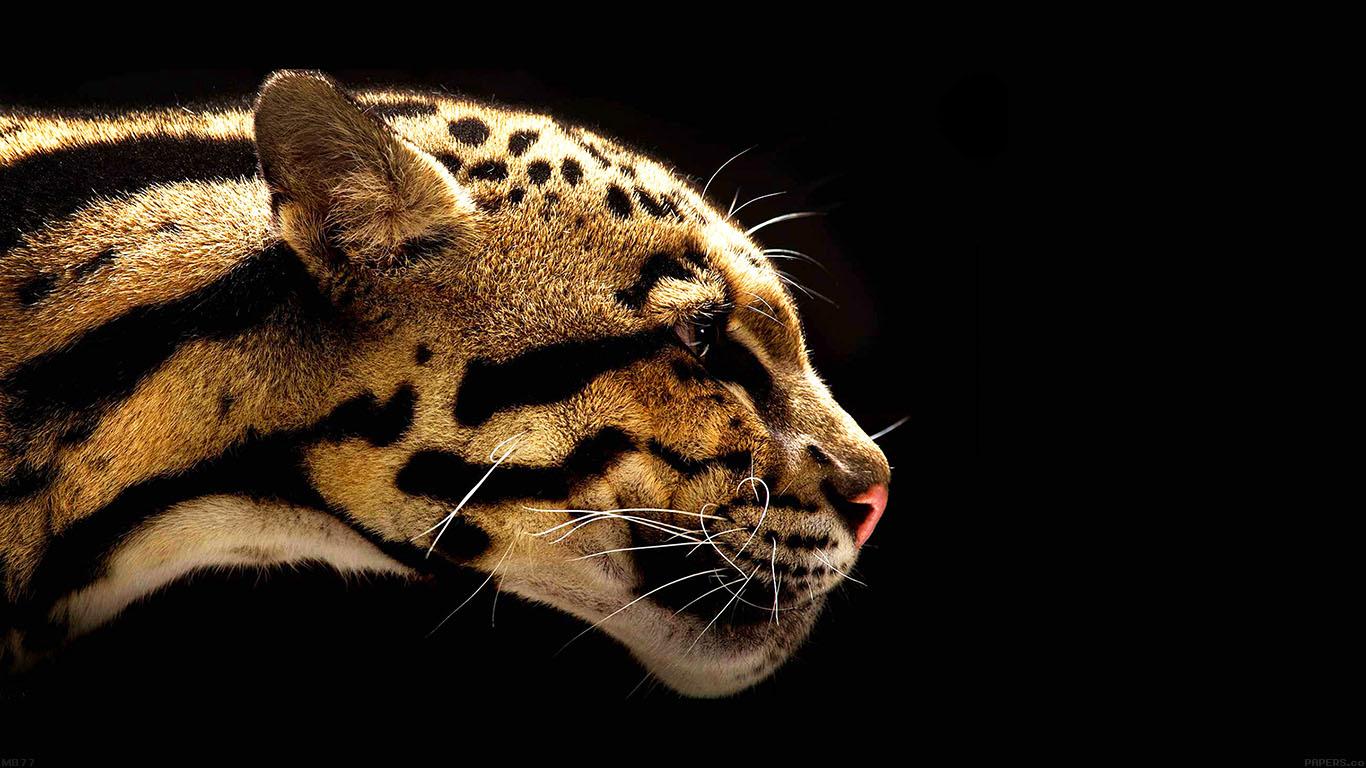 iPapers.co-Apple-iPhone-iPad-Macbook-iMac-wallpaper-mb77-wallpaper-wild-cat-b-animal