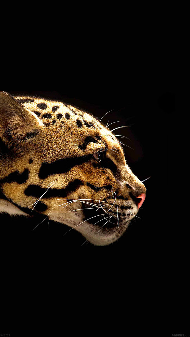 freeios8.com-iphone-4-5-6-ipad-ios8-mb77-wallpaper-wild-cat-b-animal