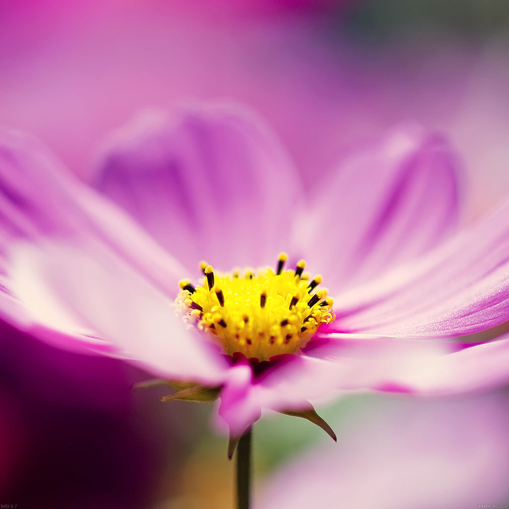 android-wallpaper-mb97-wallpaper-pink-flower-spring-wallpaper
