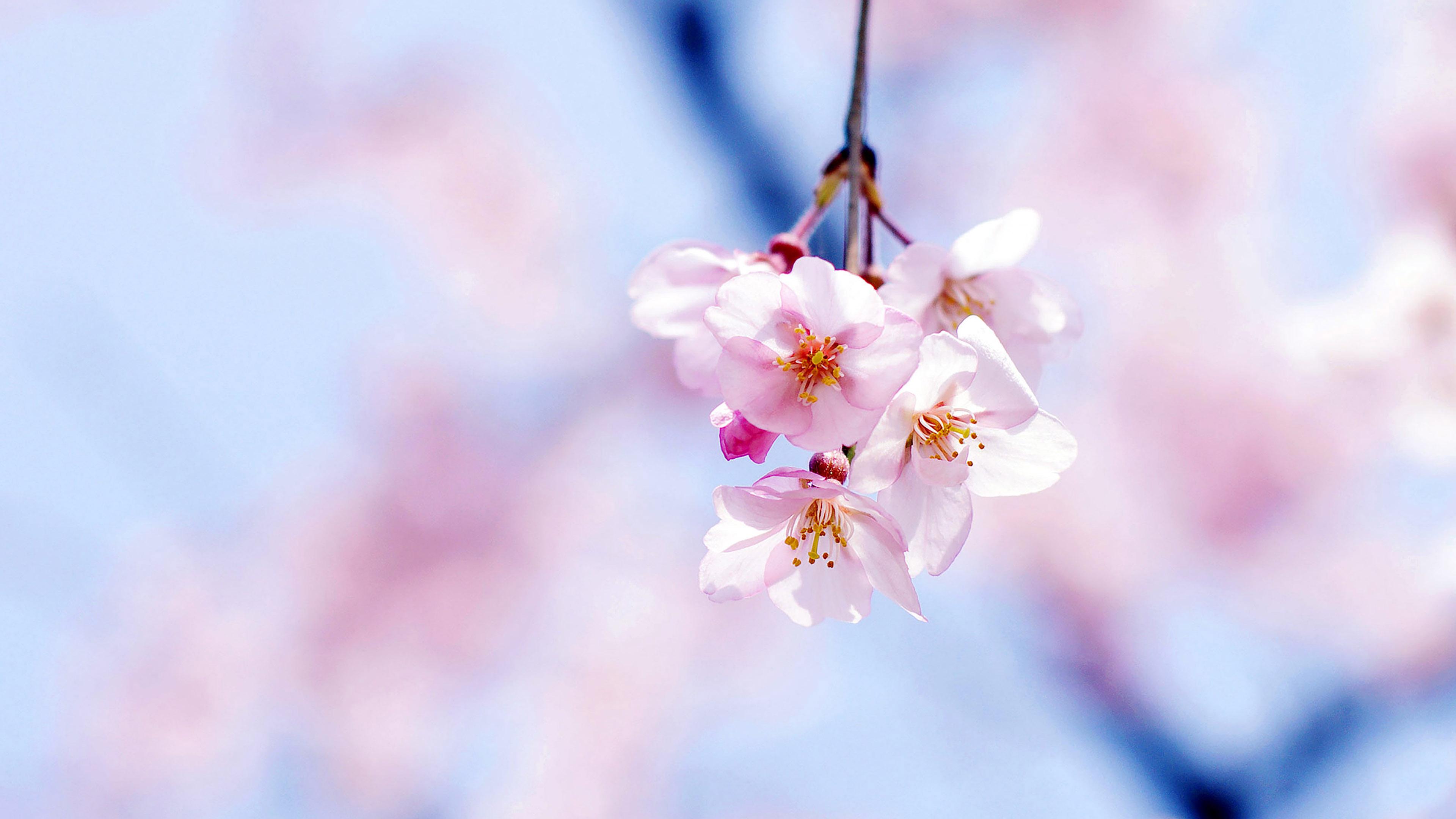 Mc89-wallpaper-cherry-blossom-by-gongsateam-flower