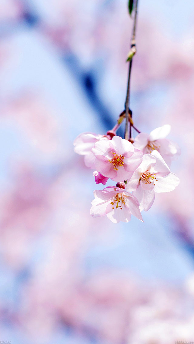 freeios8.com-iphone-4-5-6-ipad-ios8-mc89-wallpaper-cherry-blossom-by-gongsateam-flower