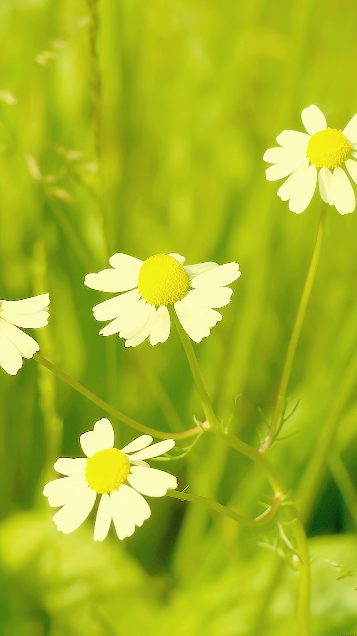 Iphone6papers Mc91 Wallpaper Spring Flower White Grass Nature