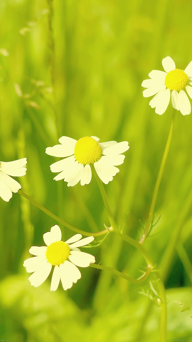 freeios8.com-iphone-4-5-6-ipad-ios8-mc91-wallpaper-spring-flower-white-grass-nature