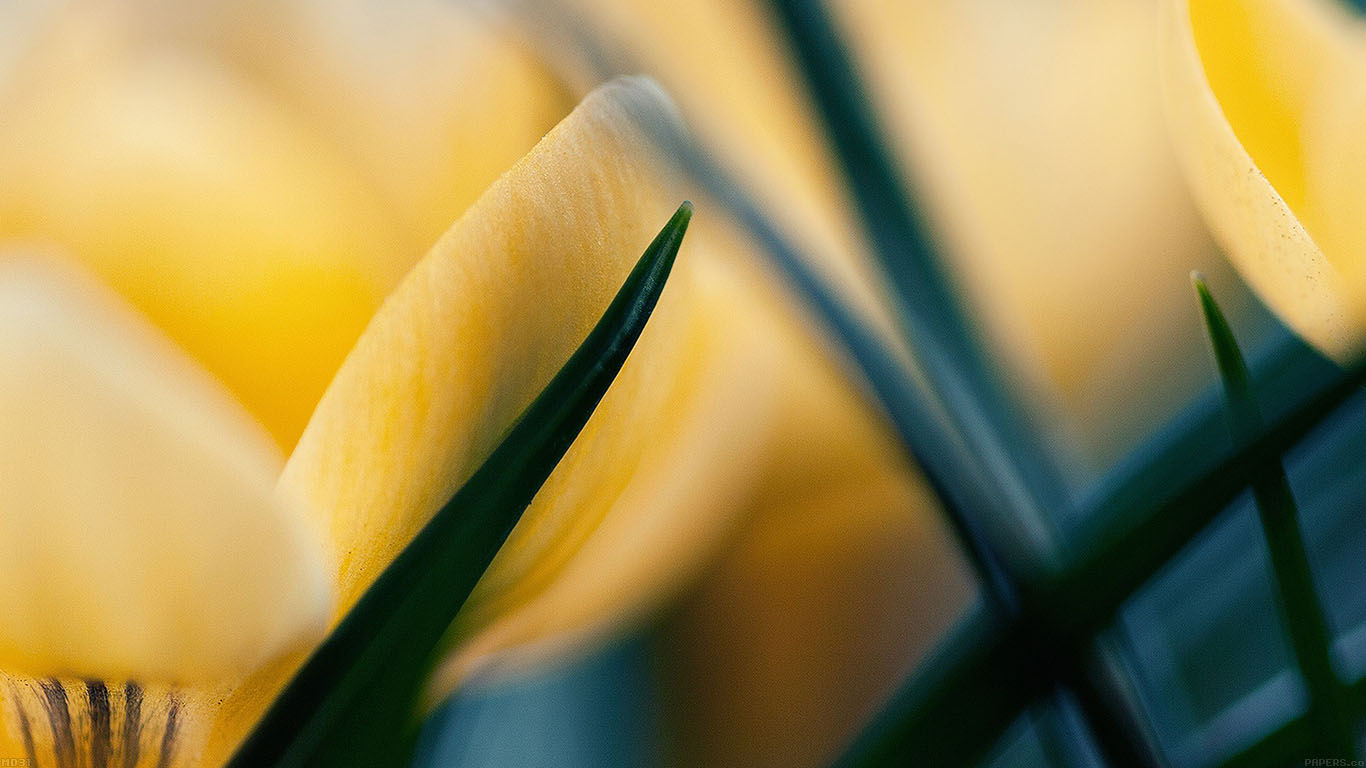 iPapers.co-Apple-iPhone-iPad-Macbook-iMac-wallpaper-md31-wallpaper-yellow-crocus-flower-beauty-nature