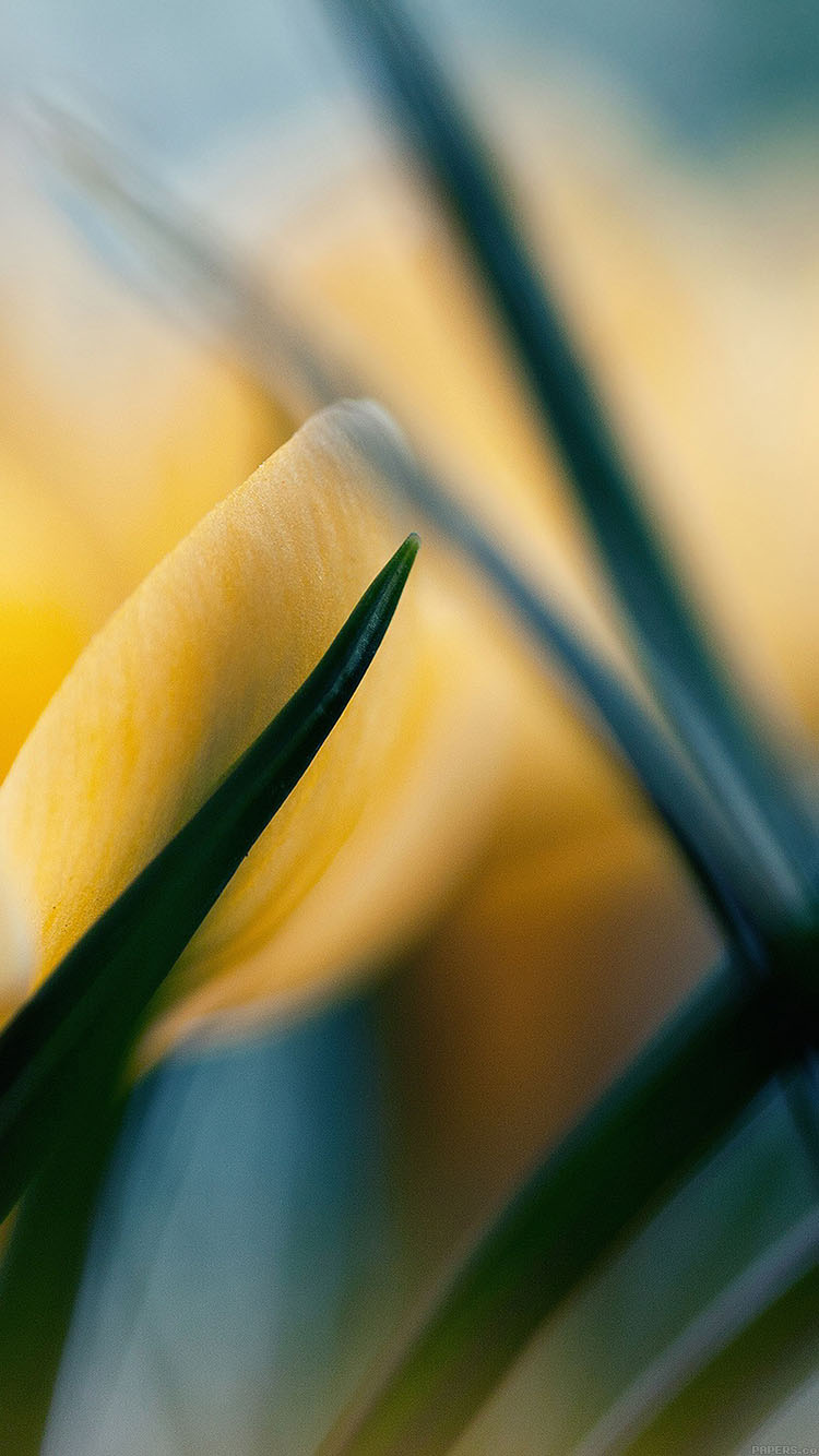 iPhone6papers.co-Apple-iPhone-6-iphone6-plus-wallpaper-md31-wallpaper-yellow-crocus-flower-beauty-nature