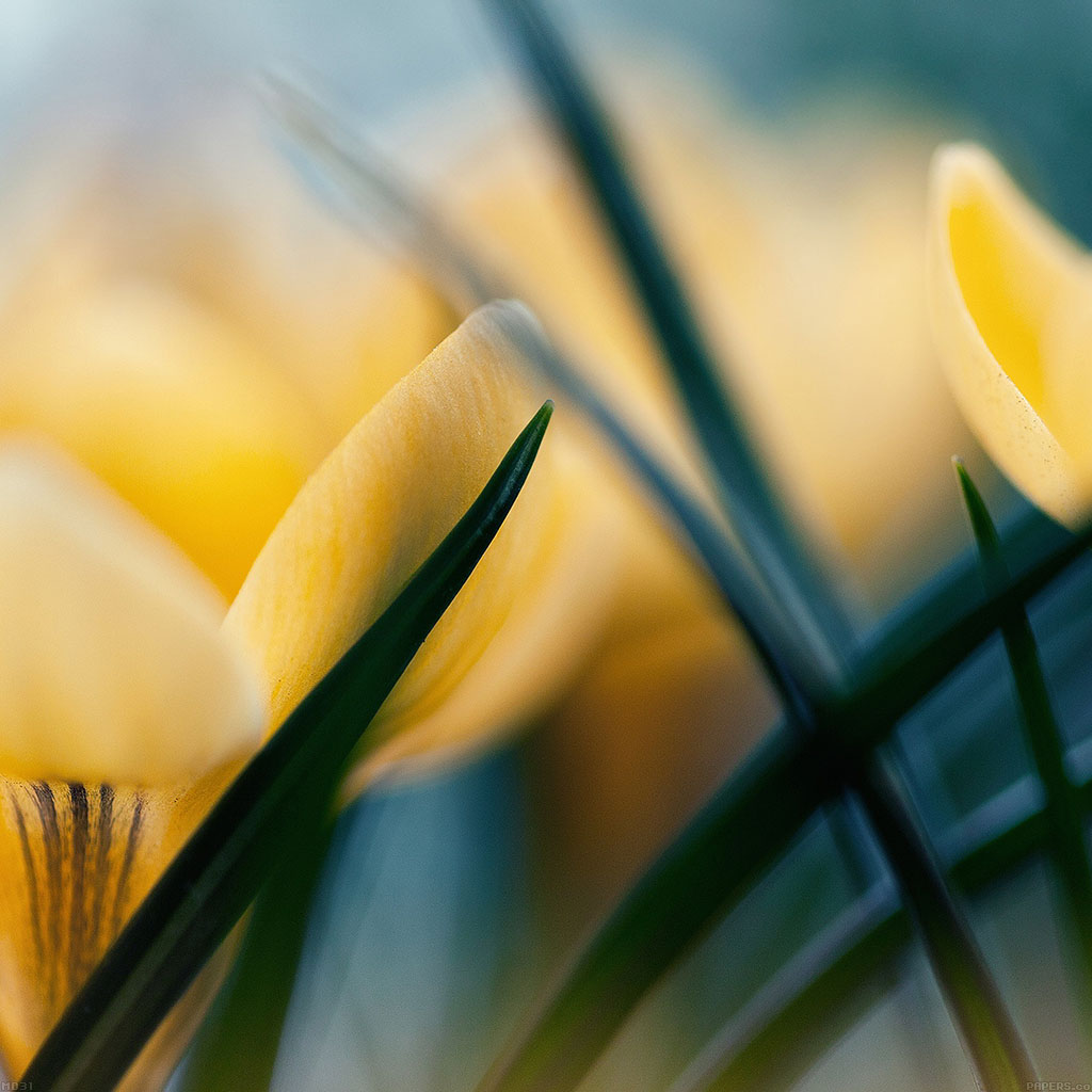 android-wallpaper-md31-wallpaper-yellow-crocus-flower-beauty-nature-wallpaper