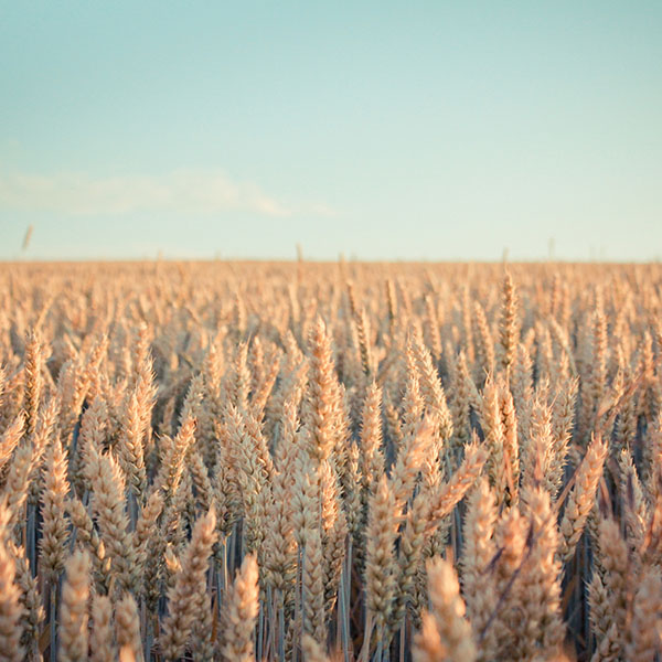 iPapers.co-Apple-iPhone-iPad-Macbook-iMac-wallpaper-md33-wallpaper-android-rye-field-nature