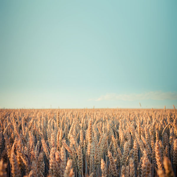 iPapers.co-Apple-iPhone-iPad-Macbook-iMac-wallpaper-md34-wallpaper-android-rye-field-sky-nature