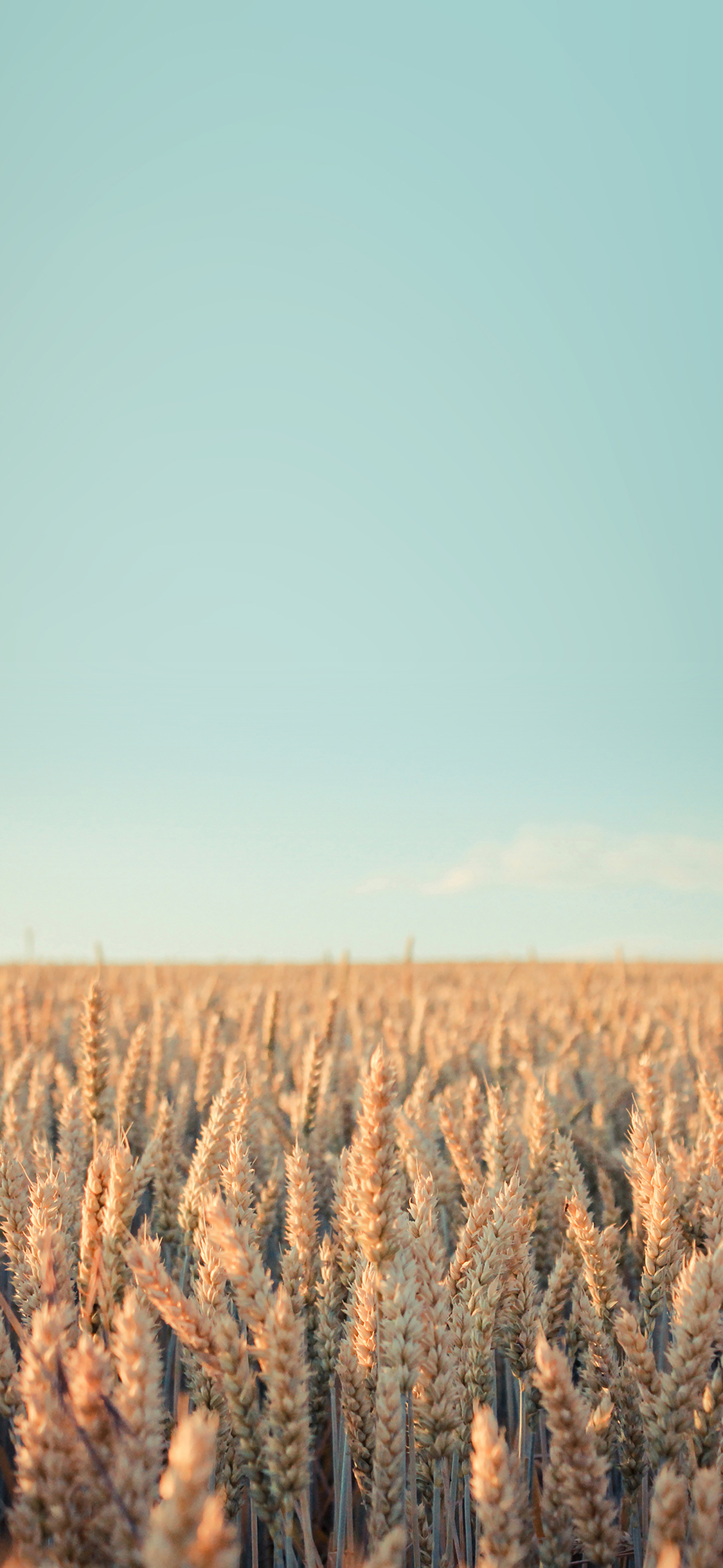 iPhoneXpapers.com-Apple-iPhone-wallpaper-md34-wallpaper-android-rye-field-sky-nature