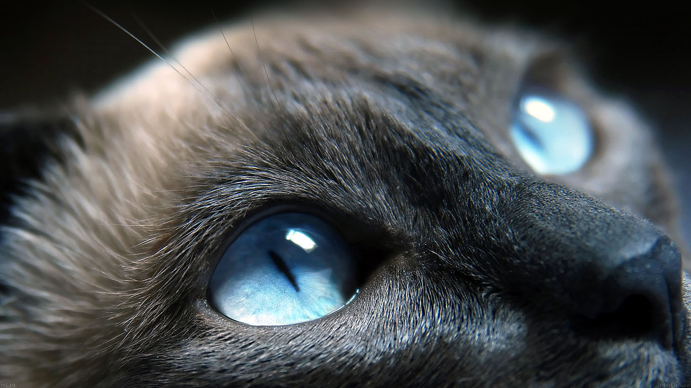 iPapers.co-Apple-iPhone-iPad-Macbook-iMac-wallpaper-me19-cats-blue-eye-cute