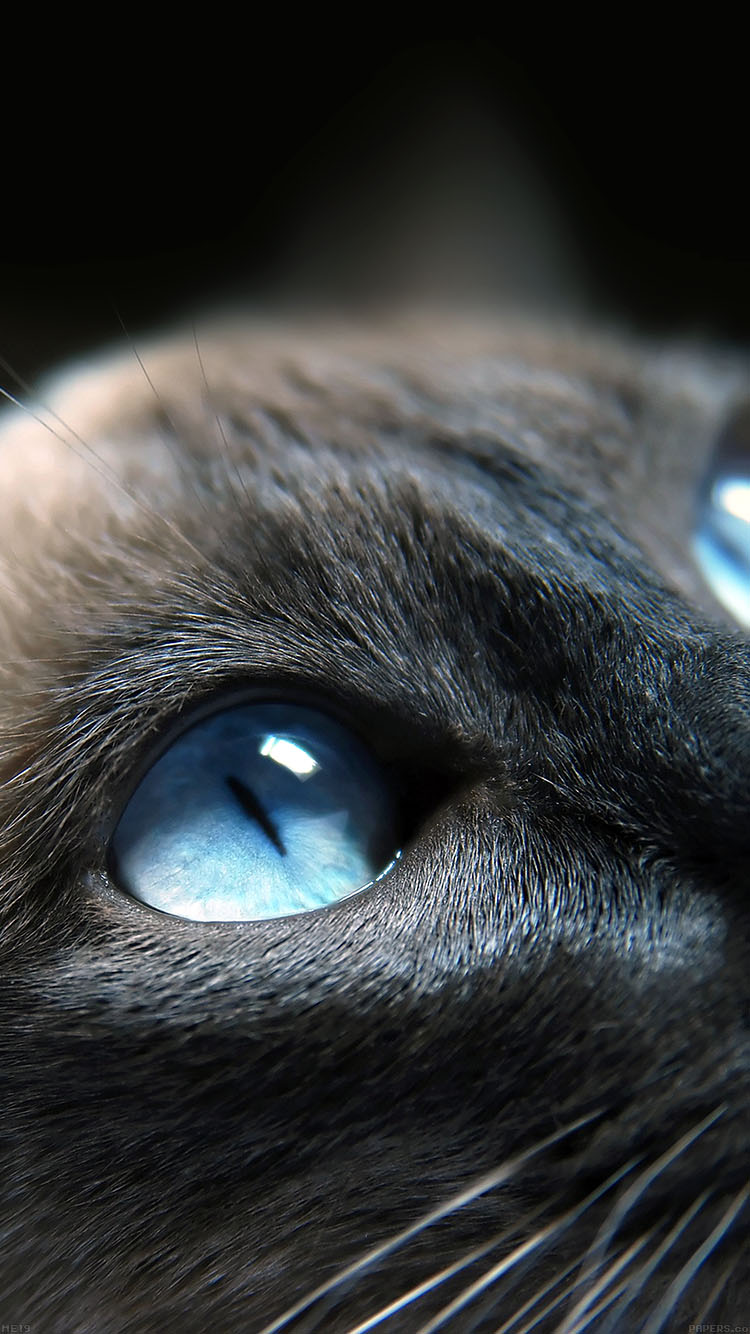 iPhone6papers.co-Apple-iPhone-6-iphone6-plus-wallpaper-me19-cats-blue-eye-cute