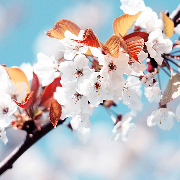 iPapers.co-Apple-iPhone-iPad-Macbook-iMac-wallpaper-me37-cherry-tree-spring-feel