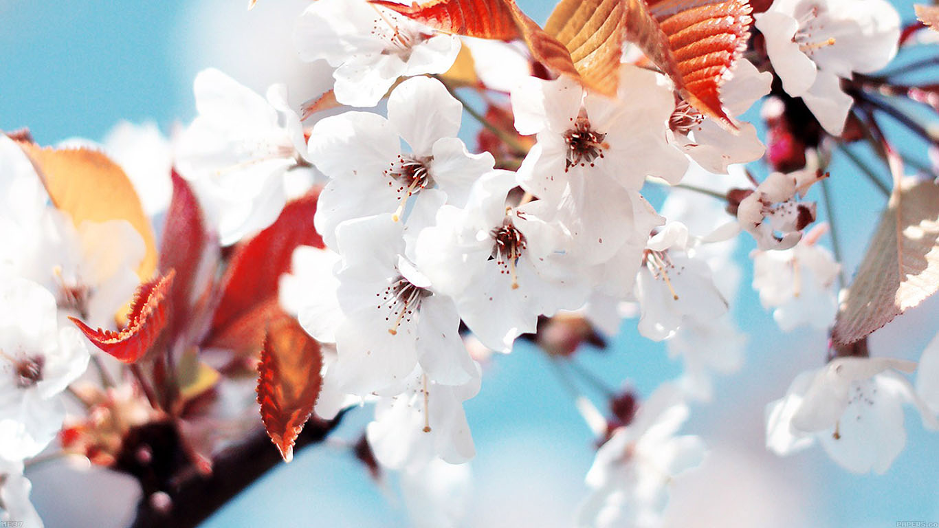 iPapers.co-Apple-iPhone-iPad-Macbook-iMac-wallpaper-me37-cherry-tree-spring-feel