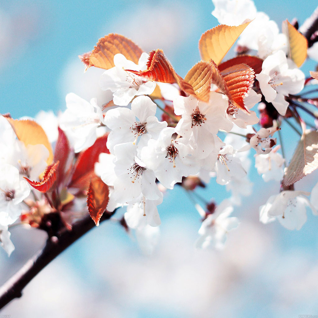 android-wallpaper-me37-cherry-tree-spring-feel-wallpaper