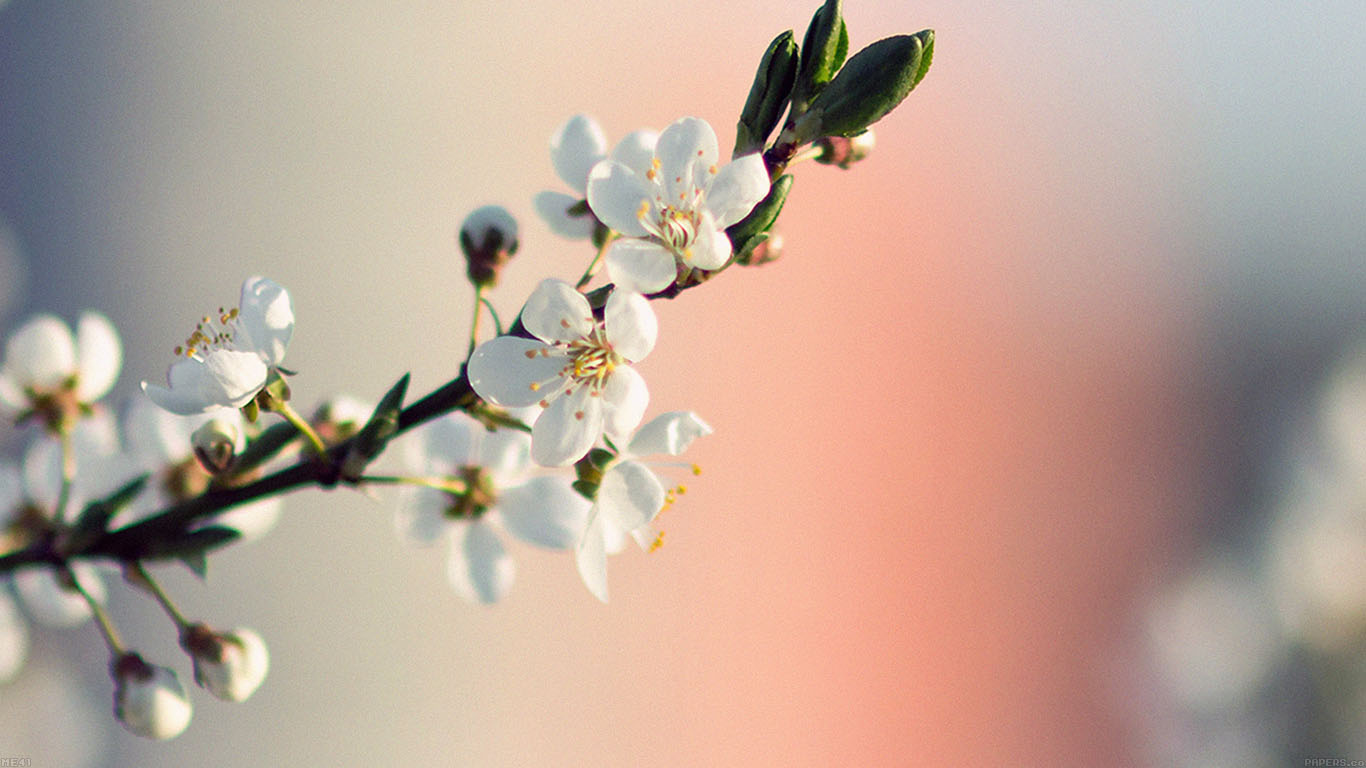 iPapers.co-Apple-iPhone-iPad-Macbook-iMac-wallpaper-me41-spring-flower-white-delight