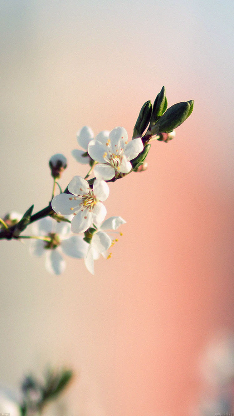 iPhone6papers.co-Apple-iPhone-6-iphone6-plus-wallpaper-me41-spring-flower-white-delight