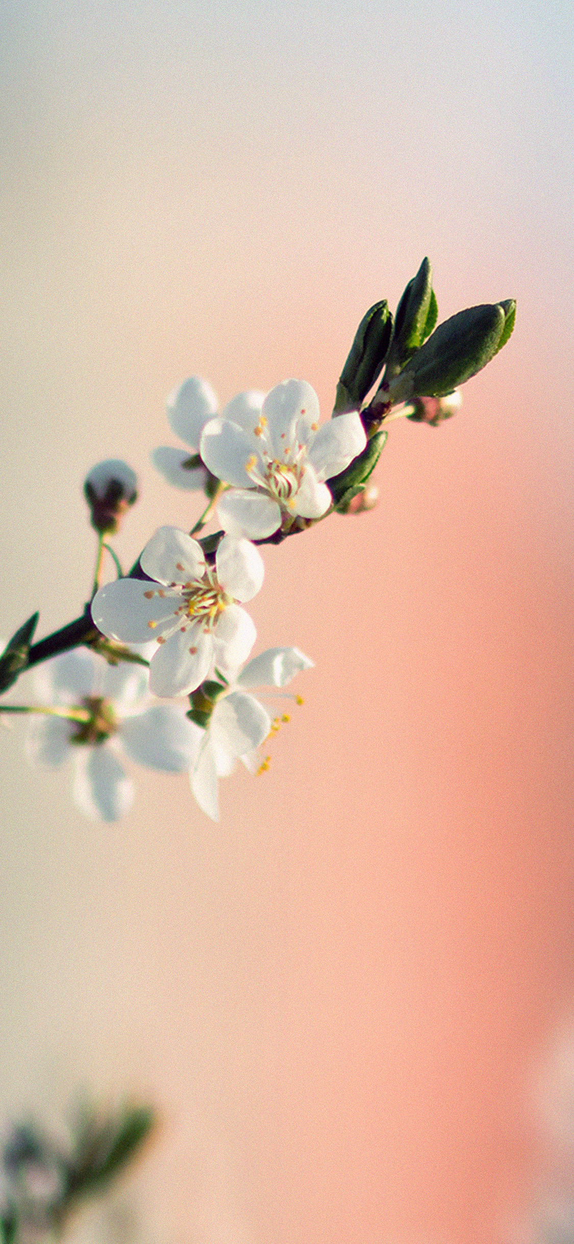 iPhoneXpapers.com-Apple-iPhone-wallpaper-me41-spring-flower-white-delight