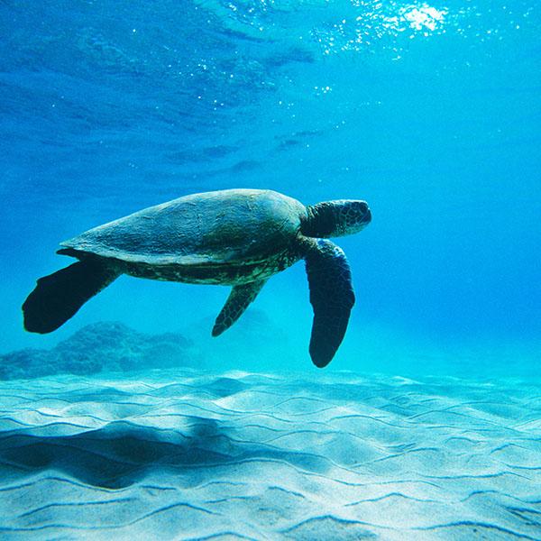 iPapers.co-Apple-iPhone-iPad-Macbook-iMac-wallpaper-me62-turtle-sea-ocean-animal