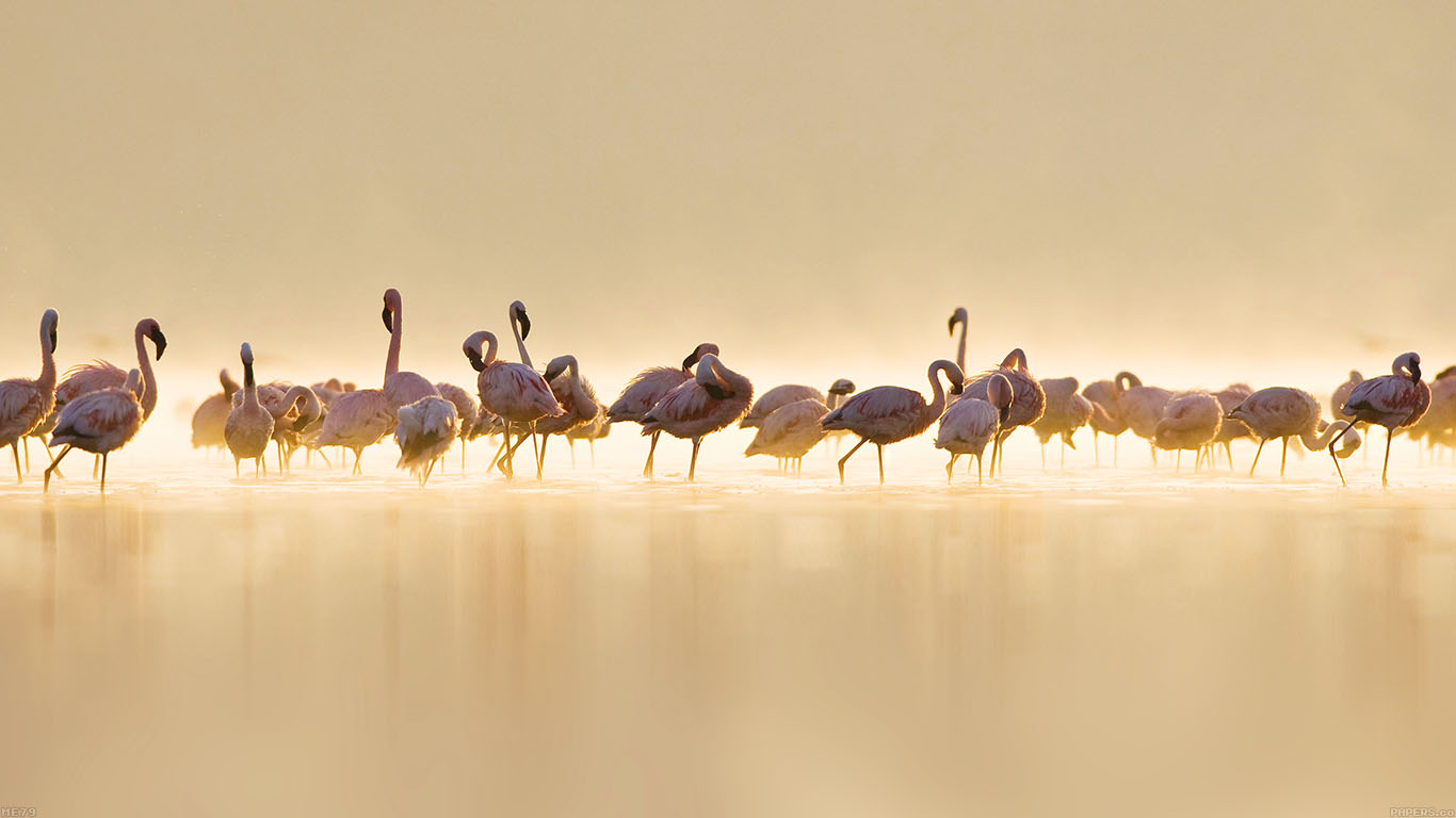 iPapers.co-Apple-iPhone-iPad-Macbook-iMac-wallpaper-me79-flamingos-peace-animal-nature-birds