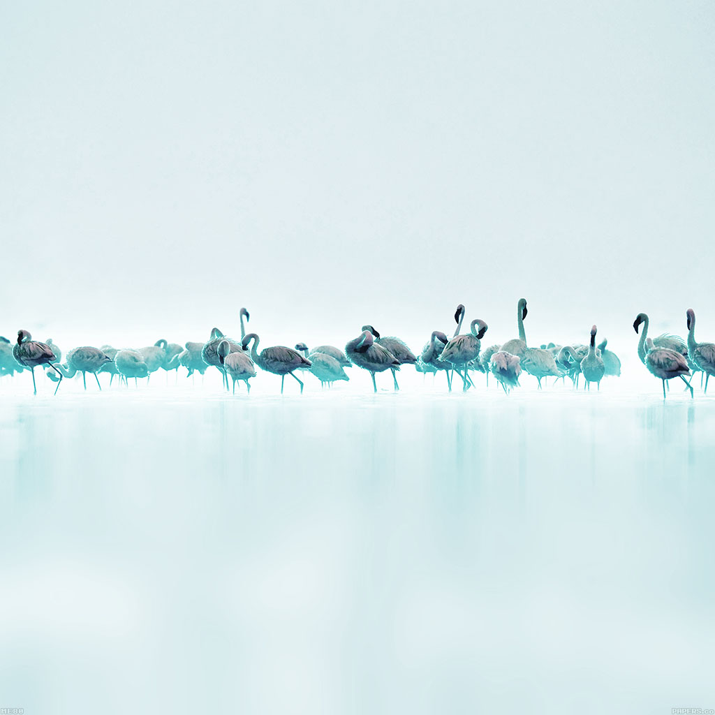 android-wallpaper-me80-flamingos-blue-peace-animal-nature-birds-wallpaper