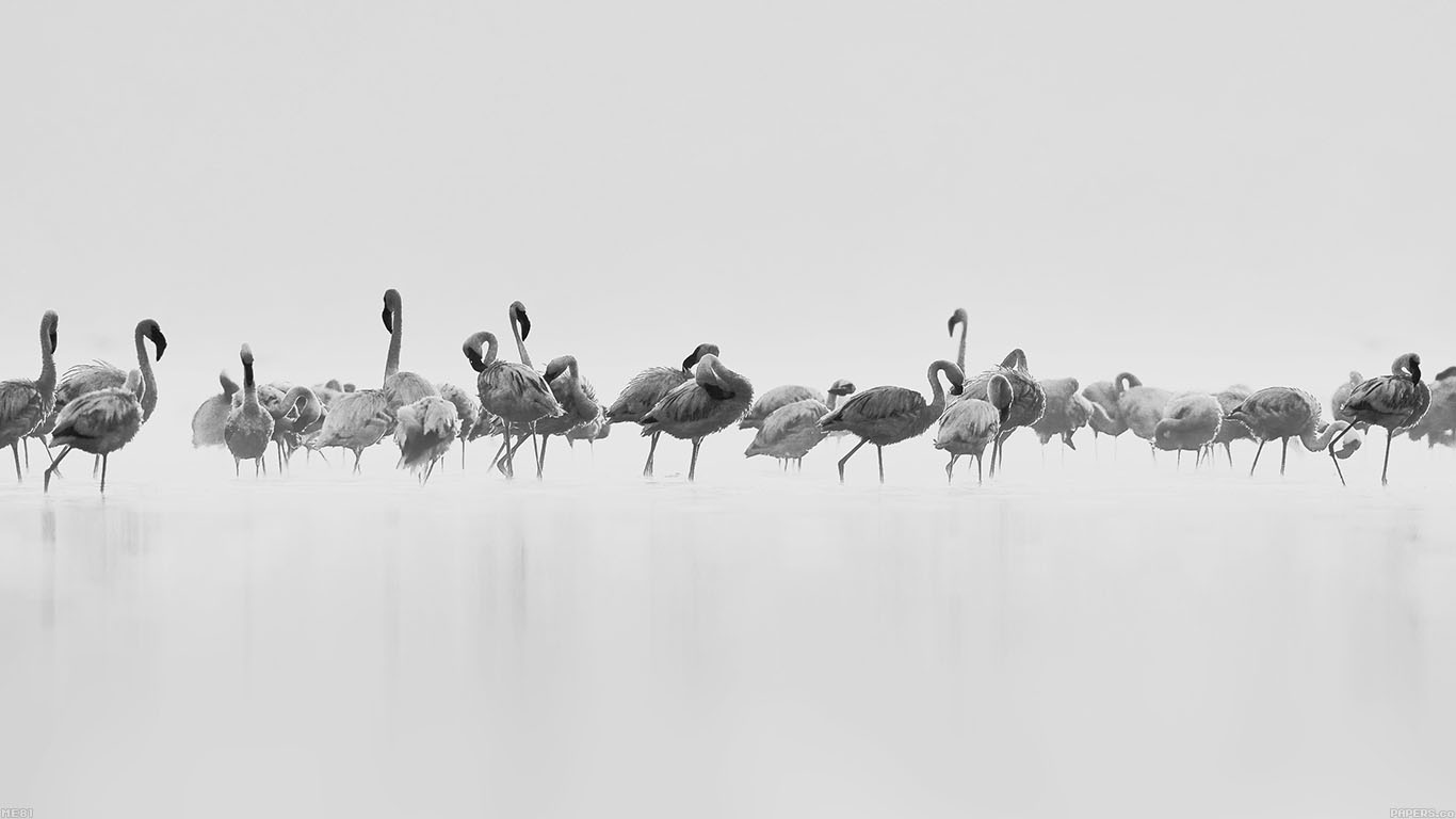 iPapers.co-Apple-iPhone-iPad-Macbook-iMac-wallpaper-me81-flamingos-white-peace-animal-nature-birds-wallpaper