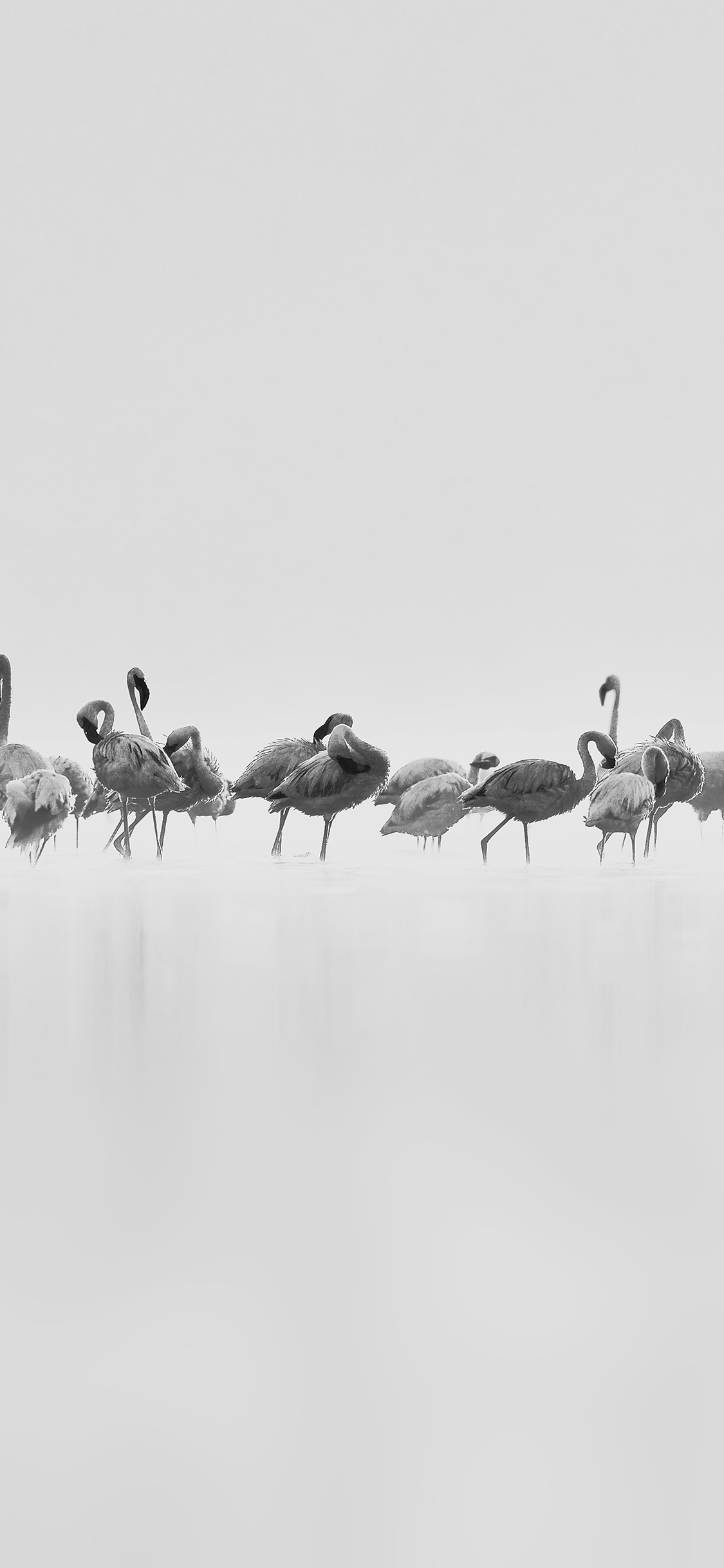 iPhoneXpapers.com-Apple-iPhone-wallpaper-me81-flamingos-white-peace-animal-nature-birds