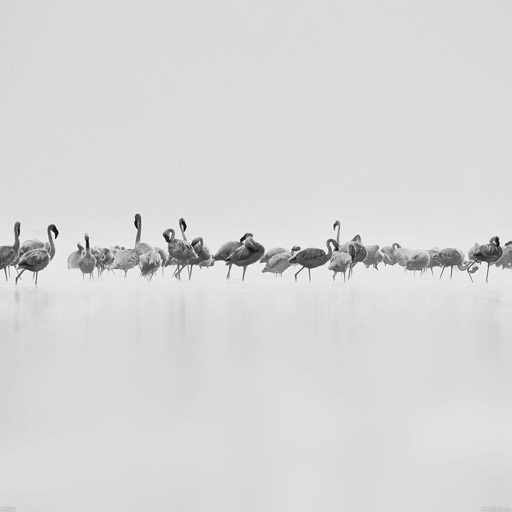 android-wallpaper-me81-flamingos-white-peace-animal-nature-birds-wallpaper