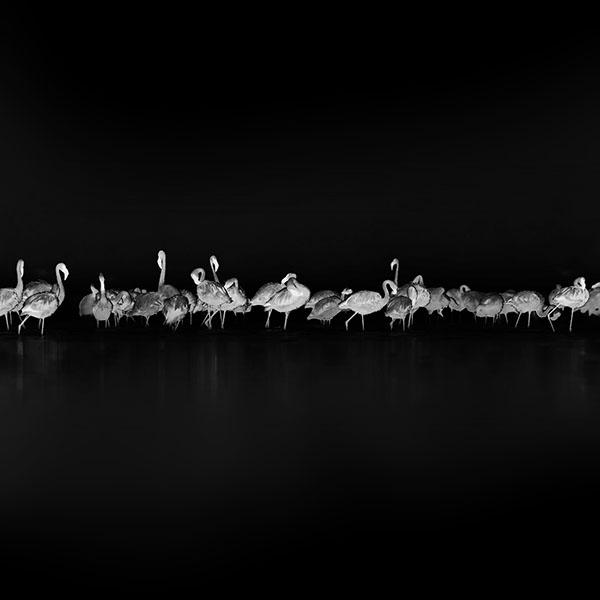 iPapers.co-Apple-iPhone-iPad-Macbook-iMac-wallpaper-me82-flamingos-black-peace-animal-nature-birds
