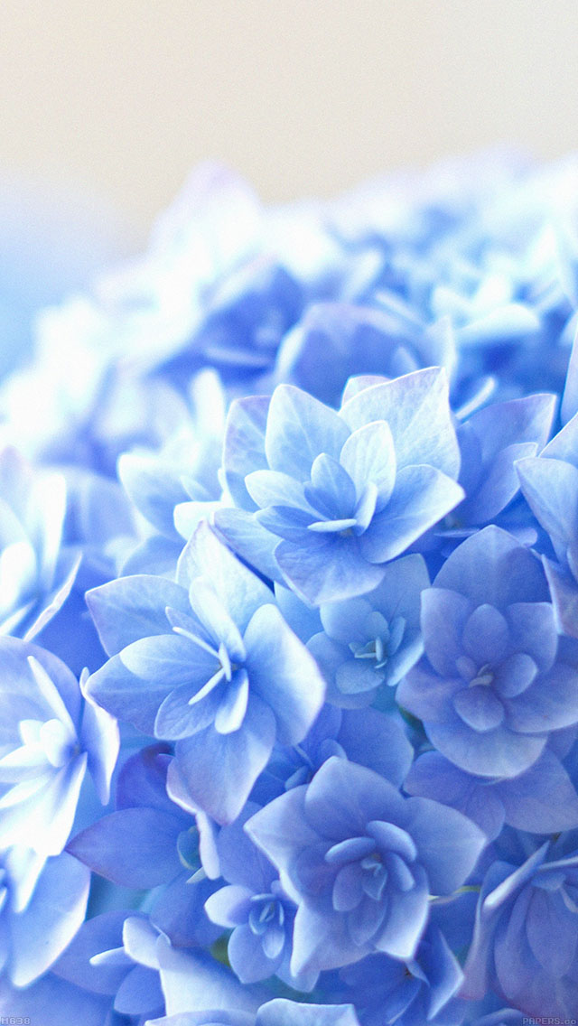 freeios8.com-iphone-4-5-6-ipad-ios8-mg38-blue-hortensia-flower-beautiful-nature