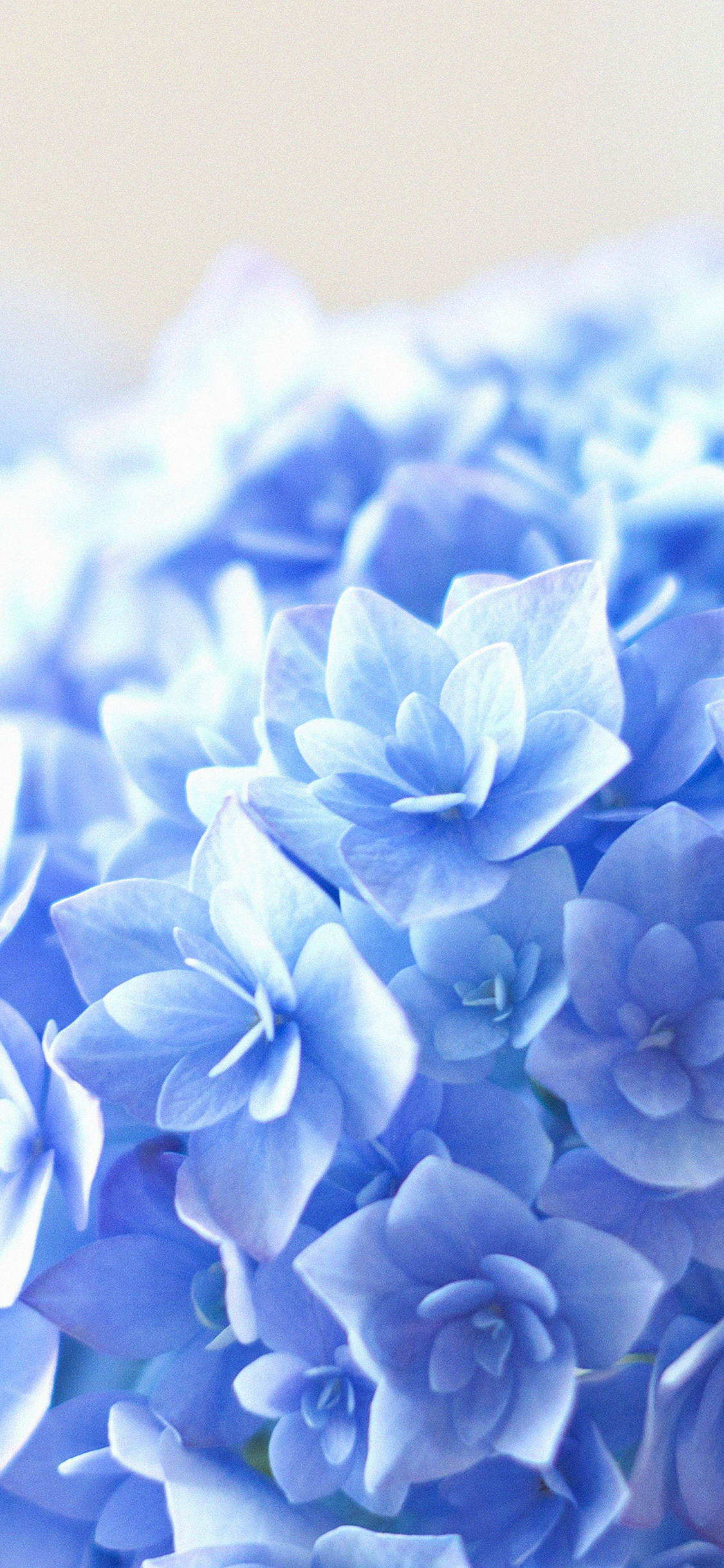 iPhoneXpapers.com-Apple-iPhone-wallpaper-mg38-blue-hortensia-flower-beautiful-nature
