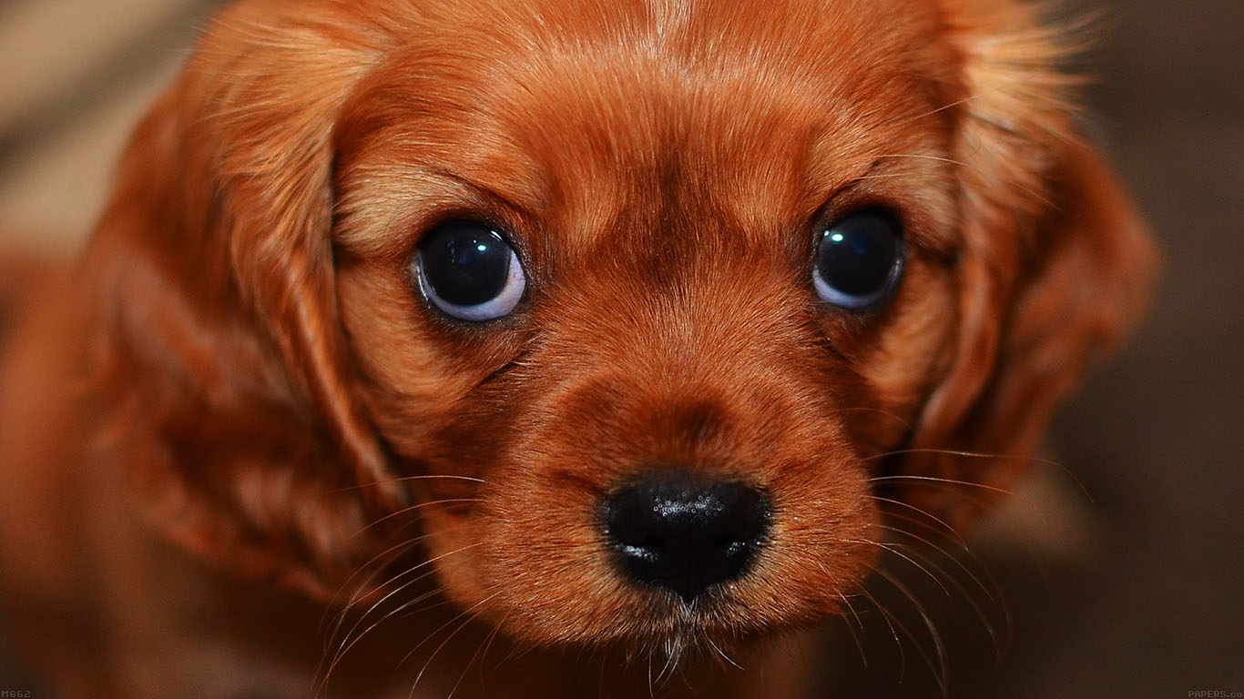 mg62-cute-puppy-wallpaper - Papers.co