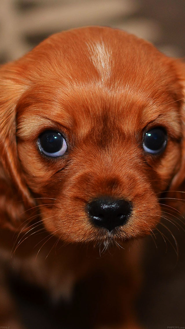 freeios8.com-iphone-4-5-6-ipad-ios8-mg62-cute-puppy-wallpaper